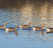Greylag geese  by chris2766