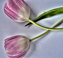 tulips by studenna