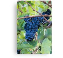 grape and vineyard Canvas Print