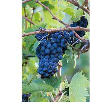 grape and vineyard Photographic Print