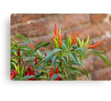 red chili Canvas Print