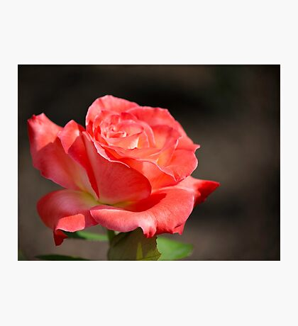 Gentle Sunlight On A Rose Photographic Print