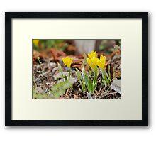yellow colchicum autumnal Framed Print