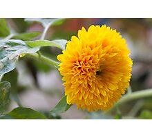 yellow peony Photographic Print