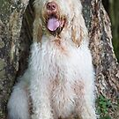 Orange and White Italian Spinone Dog by heidiannemorris