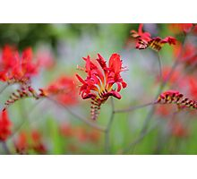 Red Summer Flowers Photographic Print