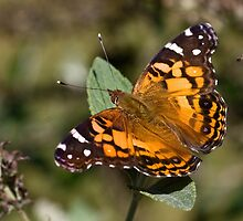 American Painted Lady by Otto Danby II