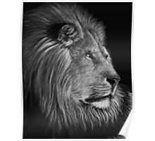 A Watchful Eye - lion Poster