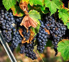 Ripe Grapes by TonyPriestley