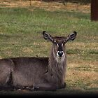 Deer Werribee Zoo Victoria 20161114 7744  by Fred Mitchell