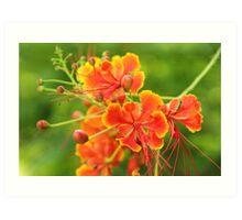 Fire tree flower Art Print
