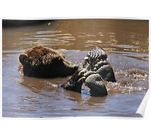 Grizzly Bear Water Play... Poster