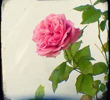 A single pink rose by gailgriggs