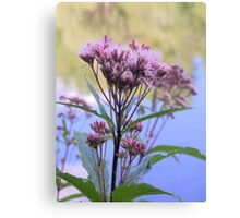 Spotted Joe Pye Weed Canvas Print
