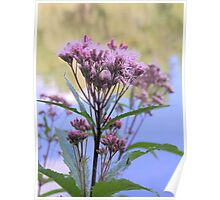 Spotted Joe Pye Weed Poster