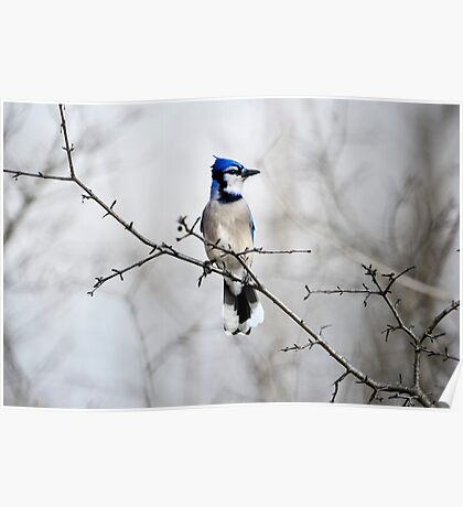 Blue Jay in A tree Poster