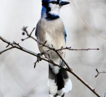 Blue Jay in A tree Sticker