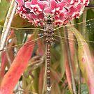 Australian Emperor Dragonfly by Trish Meyer