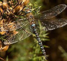 Migrant Hawker Dragonfly by Jon Lees