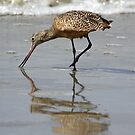Marbled Godwit by Kimberly Palmer