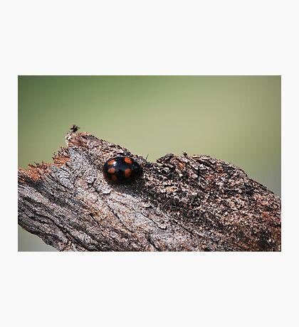 Macro Lady Beetle Photographic Print
