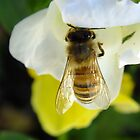 Busy Bee Toowoomba Queensland Australia  by sandysartstudio