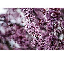 Lovely Cherry Photographic Print