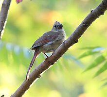 Juvenile Cardinal by hummingbirds