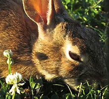 A Hare Feasting on the Clover by photroen