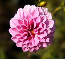Pink dahlia flower by SammyPhoto
