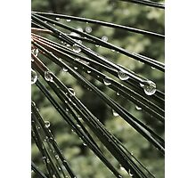 Pine Trees After the Rain Photographic Print