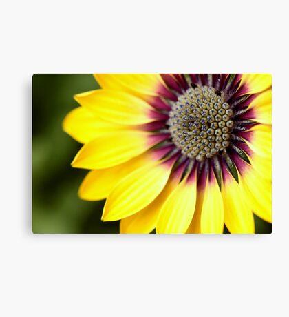 Yellow Osteospermum - Macro Flowers Canvas Print