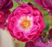 Wild blue yonder rose by SammyPhoto
