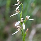 White Bunny Orchids Meelup W.A. by Leonie Mac Lean