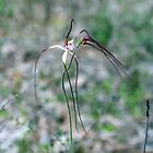 Caladenia pendens a native spider orchid of Western Australia. by Leonie Mac Lean
