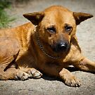 Street Dogs of Asia Series - Pulau Ubin Singapore - Mixed Breed by designedbyn