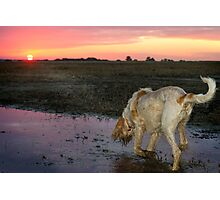 Orange & White Italian Spinone Dog in Action Photographic Print