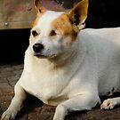 Street Dogs of Asia Series - Ho Chi Minh Vietnam - One Eyed Dog by designedbyn