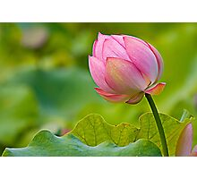 colorful lotus Photographic Print