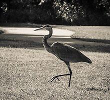 Blue heron taking a walk in the park by Dwellsphoto