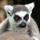 Ring-tailed lemur by ClareLH