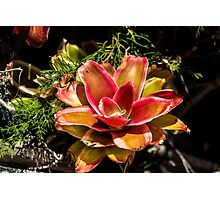 Dream Flower - Nature Photography  Photographic Print