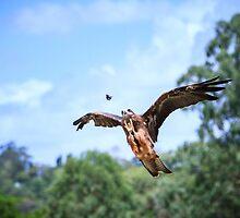 Black Kite Hunting by Silken Photography