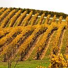 Autumn vines by Andrew Dickman
