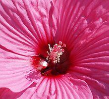 Hollyhock in Pink by nastruck