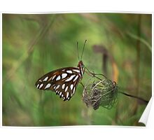 Gulf Fritillary or Passion Butterfly, Agraulis vanillae Poster