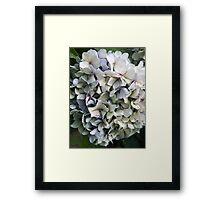Hydrangea Heaven Framed Print