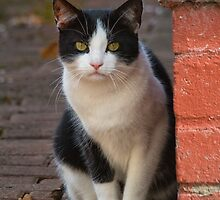 Tuxedo Cat by M.S. Photography/Art