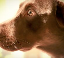 Alert Chocolate Lab by MStumbrie