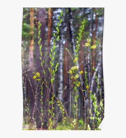 flowering shoots in the spring forest Poster